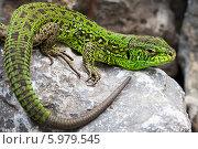 Зелёная ящерица(Lacerta viridis) — вид ящериц из рода Зелёных ящериц. Ящерица на камне. Стоковое фото, фотограф Евгений Мухортов / Фотобанк Лори