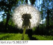 Купить «Цветок одуванчика в контровом свете», эксклюзивное фото № 5983977, снято 23 мая 2014 г. (c) lana1501 / Фотобанк Лори