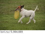 Джек-рассел терьер с тарелкой. Стоковое фото, фотограф Устинова Мария / Фотобанк Лори