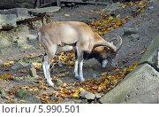 Купить «Горный козёл. Калининградский зоопарк», эксклюзивное фото № 5990501, снято 11 октября 2008 г. (c) Svet / Фотобанк Лори