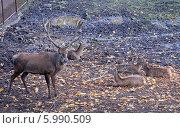Купить «Олени в Калининградском зоопарке», эксклюзивное фото № 5990509, снято 11 октября 2008 г. (c) Svet / Фотобанк Лори