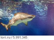 Купить «Большая акула плавает в воде», фото № 5991345, снято 9 августа 2013 г. (c) Яков Филимонов / Фотобанк Лори
