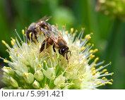 Пчелы на цветке лука. Стоковое фото, фотограф Михаил Коханчиков / Фотобанк Лори