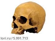Макет человеческого черепа. Стоковое фото, фотограф Сергей Видинеев / Фотобанк Лори