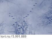 Летят гуси. Стоковое фото, фотограф Михаил Мусатов / Фотобанк Лори