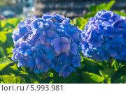 Две голубые гортензии. Стоковое фото, фотограф Ilya Druzhinin / Фотобанк Лори