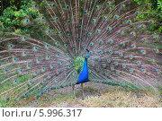 Павлин с распустившимися перьями. Стоковое фото, фотограф Камиля Сайдашева / Фотобанк Лори