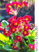 Купить «Первоцвет, или Примула (Primula) — род растений из семейства Первоцветные (Primulaceae) порядка Верескоцветные (Ericales). Цветущий куст», эксклюзивное фото № 5996357, снято 17 марта 2012 г. (c) Евгений Мухортов / Фотобанк Лори