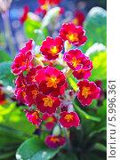 Купить «Первоцвет, или Примула (Primula) — род растений из семейства Первоцветные (Primulaceae) порядка Верескоцветные (Ericales). Цветущий куст», эксклюзивное фото № 5996361, снято 17 марта 2012 г. (c) Евгений Мухортов / Фотобанк Лори