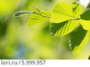 Купить «Веточка с молодыми весенними листьями», фото № 5999957, снято 9 мая 2014 г. (c) Тамара Наянова / Фотобанк Лори