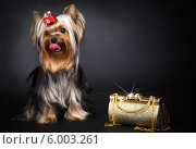 Модная собачка с сумочкой. Стоковое фото, фотограф Olga Taranik / Фотобанк Лори