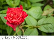 Садовая роза. Стоковое фото, фотограф Оксана Мади / Фотобанк Лори