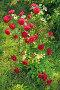 Куст красной розы, эксклюзивное фото № 6011533, снято 15 июня 2014 г. (c) Юрий Морозов / Фотобанк Лори