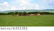 Стадо коров. Стоковое фото, фотограф Александр Бураков / Фотобанк Лори