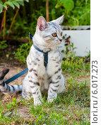 Купить «Серая шотландская кошка на прогулке», эксклюзивное фото № 6017273, снято 24 мая 2014 г. (c) Игорь Низов / Фотобанк Лори