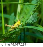 Купить «Крупный жёлтый с короткими усами кузнечик сидит на траве», эксклюзивное фото № 6017289, снято 8 июня 2014 г. (c) Игорь Низов / Фотобанк Лори