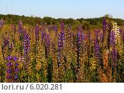 Синие люпины в поле. Стоковое фото, фотограф Елена Сидорова / Фотобанк Лори