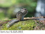 Купить «Азиатский, сибирский бурундук (лат. Tamias sibiricus) сидит среди камней», фото № 6025893, снято 26 июля 2011 г. (c) Григорий Писоцкий / Фотобанк Лори