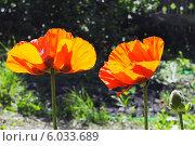 Купить «Красивые красные маки в саду», фото № 6033689, снято 29 мая 2020 г. (c) Землянникова Вероника / Фотобанк Лори
