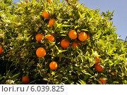 Купить «Апельсины на дереве», фото № 6039825, снято 16 августа 2018 г. (c) Виталий Бахарев / Фотобанк Лори