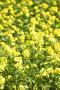 Поле цветущего рапса, фото № 6055769, снято 12 июня 2014 г. (c) Владимир Мельников / Фотобанк Лори