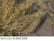 Пастушья сумка обыкновенная, или Сумочник пастуший (Capsella bursa-pastoris) — травянистое растение, вид рода Пастушья сумка (Capsella) из семейства Капустные (Brassicaceae) Стоковое фото, фотограф Евгений Мухортов / Фотобанк Лори