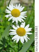 Купить «Две садовые ромашки», эксклюзивное фото № 6068061, снято 29 июня 2014 г. (c) Елена Коромыслова / Фотобанк Лори