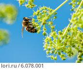 Купить «Пчела сидит на цветке на фоне голубого неба», эксклюзивное фото № 6078001, снято 30 июня 2014 г. (c) Игорь Низов / Фотобанк Лори