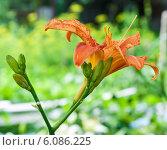 Купить «Растущий оранжевый лилейник крупным планом», эксклюзивное фото № 6086225, снято 3 июля 2014 г. (c) Игорь Низов / Фотобанк Лори