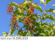 Купить «Ветка садовой калины с плодами», фото № 6090033, снято 25 июня 2014 г. (c) Ольга Сейфутдинова / Фотобанк Лори