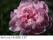 Розовый цветок астры в каплях утренней росы. Стоковое фото, фотограф Анна Королева / Фотобанк Лори