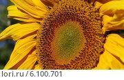 Купить «Подсолнух крупным планом», видеоролик № 6100701, снято 6 июля 2014 г. (c) V.Ivantsov / Фотобанк Лори