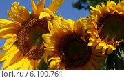Купить «Три подсолнуха в лучах солнца», видеоролик № 6100761, снято 6 июля 2014 г. (c) V.Ivantsov / Фотобанк Лори