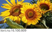 Купить «Три подсолнуха», видеоролик № 6100809, снято 6 июля 2014 г. (c) V.Ivantsov / Фотобанк Лори