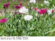 Купить «Садовые васильки (лат. Centaurea)», эксклюзивное фото № 6106153, снято 2 июля 2014 г. (c) Елена Коромыслова / Фотобанк Лори
