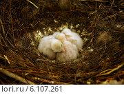 Сон птенцов сокола в уютном гнезде в летний день. Стоковое фото, фотограф Игорь Аксеновский / Фотобанк Лори