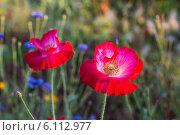 Купить «Маки теплым ранним летним утром», фото № 6112977, снято 14 июля 2013 г. (c) Скудова Елена / Фотобанк Лори