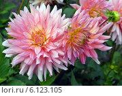Купить «Пёстрые розовые георгины (лат. Dаhlia)», эксклюзивное фото № 6123105, снято 18 июля 2019 г. (c) Svet / Фотобанк Лори