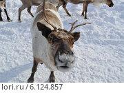 Любопытный олень. Стоковое фото, фотограф Николай Новиков / Фотобанк Лори
