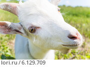 Купить «Белая коза», фото № 6129709, снято 15 июня 2014 г. (c) Сергей Колесников / Фотобанк Лори
