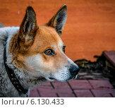 Сторожевой пес. Стоковое фото, фотограф Sergey Kiselev / Фотобанк Лори