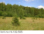 Молодые ёлки и берёзы на летней поляне с ромашками. Стоковое фото, фотограф Владимир Аликин / Фотобанк Лори