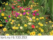 Цветы портулака огородного. Стоковое фото, фотограф Елена Сидорова / Фотобанк Лори
