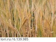 Ячмень в поле. Стоковое фото, фотограф Елена Авдеева / Фотобанк Лори