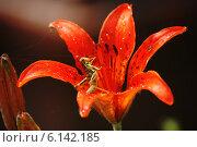 Купить «Зеленый кузнечик сидит внутри красного цветка лилии», фото № 6142185, снято 22 июня 2014 г. (c) Konstantin Kartashov / Фотобанк Лори