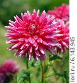 Купить «Крупный розовый георгин (лат. Dаhlia)», эксклюзивное фото № 6143945, снято 7 июля 2020 г. (c) Svet / Фотобанк Лори