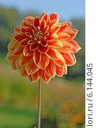 Купить «Красивый цветок (лат. Dаhlia)», эксклюзивное фото № 6144045, снято 7 июля 2020 г. (c) Svet / Фотобанк Лори
