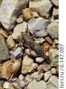 Купить «Ползущая по камешкам личинка стрекозы (казара)», фото № 6147097, снято 15 июля 2014 г. (c) Андрей Забродин / Фотобанк Лори