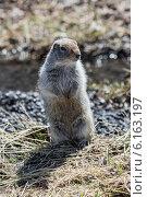 Купить «Берингийский суслик, или евражка, стоит на задних лапах. Полуостров Камчатка», фото № 6163197, снято 28 июня 2014 г. (c) А. А. Пирагис / Фотобанк Лори