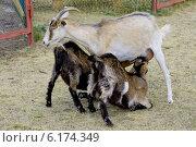 Купить «Коза кормит козлят на ферме», фото № 6174349, снято 19 июля 2014 г. (c) Круглов Олег / Фотобанк Лори